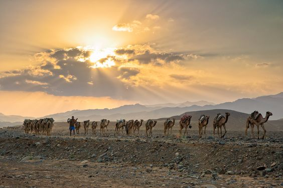 Ethiopian camels under setting sun