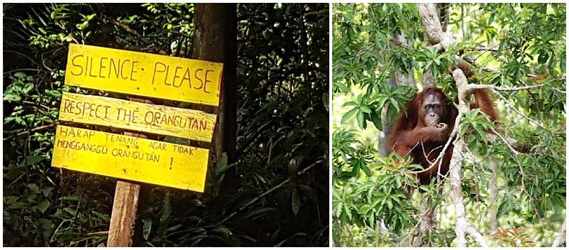 Orangutan primates in Borneo