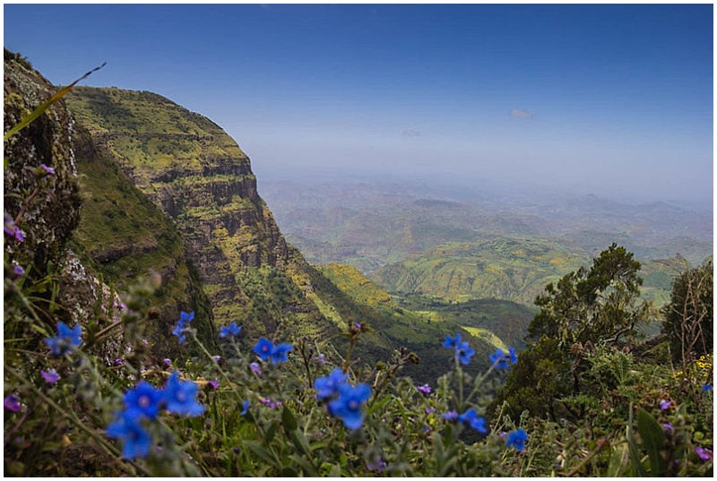 blue flowers simien mountain national park ethiopua