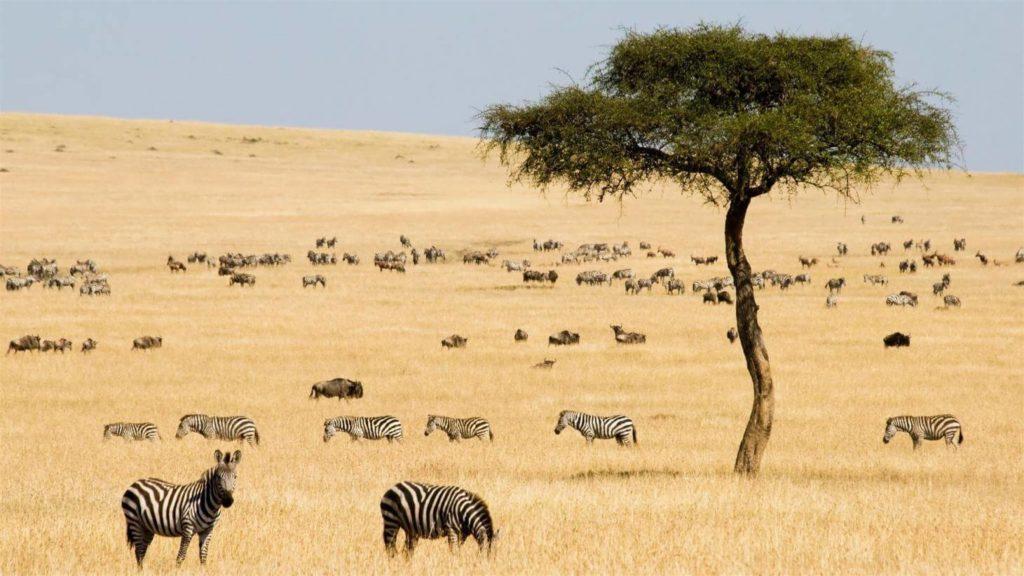 Zebra Kenya