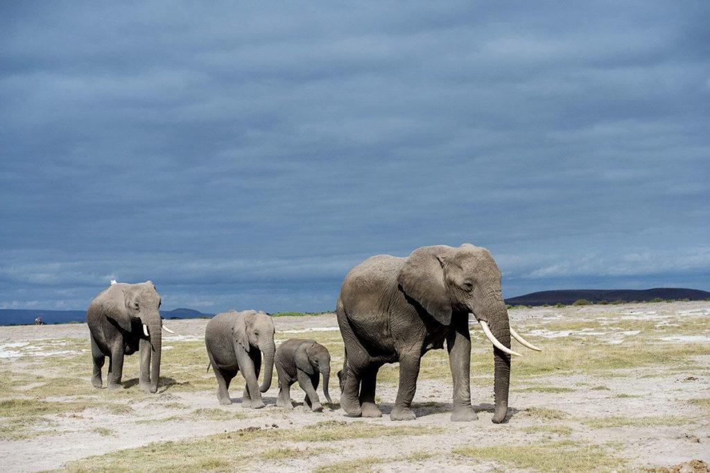 Elephant - Kenya